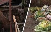Под Харьковом голодные верблюды лишают местных жителей урожая (видео)