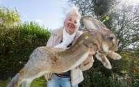 Самого большого кролика в мире украли в Великобритании (видео)