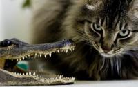 Храбрый кот сразился  с крокодилом и… победил (ВИДЕО)