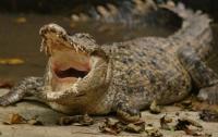 Крокодил укусил за лицо циркача, сунувшего голову в пасть хищнику (видео)