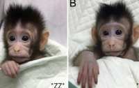 Китайские ученые впервые клонировали обезьян (ВИДЕО)
