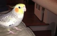 Попугай от расстройства научился петь мелодию айфона