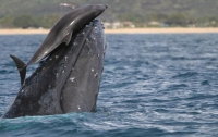 Сотни дельфинов превратили кита в