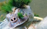 Черепаха-панк оказалась на грани вымирания