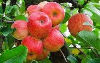 Украинские яблоки продают по рекордным ценам