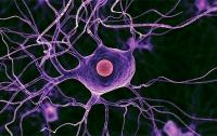 Ученые научились восстанавливать нервные клетки (видео)