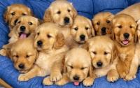 В России высокопоставленный следователь брал взятки щенками