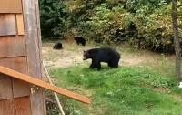 Вежливый канадец уговорил медведей уйти с его двора (видео)