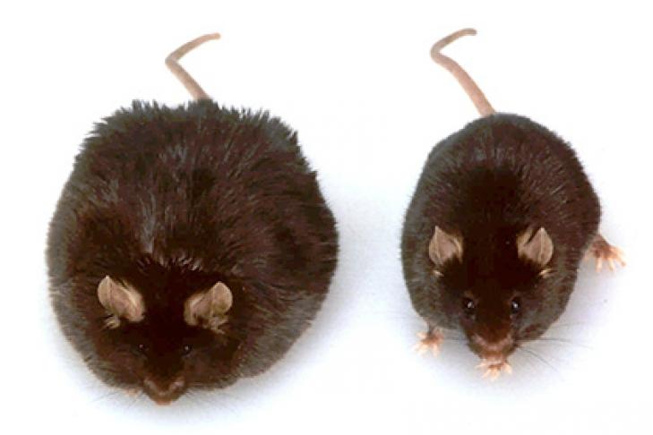 ДНК изпогибших жировых клеток вызываает ожирение— Ученые