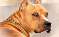 В Киеве бойцовский пес загрыз бульдога и покусал двух людей