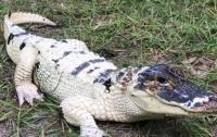 В США украли уникального белого аллигатора (видео)