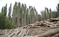Экс-чиновник рассказал, кто вырубает лес