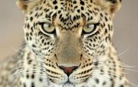 Сбежавший гепард
