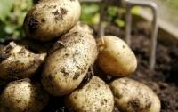 В Украине падает оптовая цена на картофель