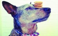 Домашняя собака показывает мастер-класс по балансировке (ФОТО)