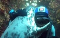 Тюлень подружился с дайвером (ВИДЕО)