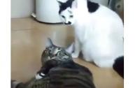 Товстий кіт дотепно зупинив бійку своїх братів, чим підкорив мережу (ВІДЕО)