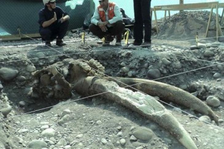 Жители Америки впроцессе возведения метро обнаружили останки мастодонта возрастом 10 000 лет