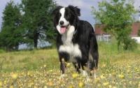 ТОП-10 самых умных собак