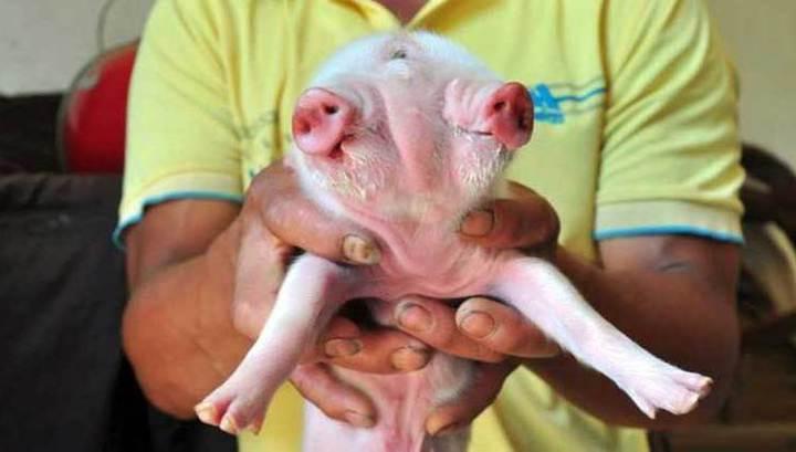 какие девочки рождаются в год свиньи квартиры