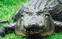 Американцы поймали огромного крокодила
