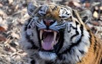 Тигр растерзал работника плантации на Суматре