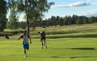 Лось устроил погоню за гольфистом прямо на поле (видео)