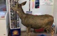 В штате Колорадо в магазин пришла самка оленя