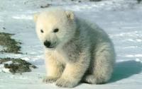 На Аляске спасли белого медвежонка