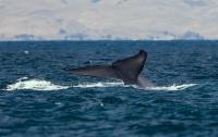 Впервые в истории морской кит убил человека