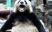 Панда проучила наглую туристку (видео)