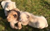 Разноцветные львята впервые родились в сафари-парке