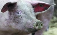 В Китае выловили 16 тысяч мертвых свиней