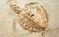 У Китаї фермер знайшов закам'янілу черепаху Юрського періоду