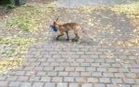 В Берлине лиса обворовывала местных жителей (фото)
