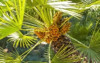 ОАЭ планируют вырастить в космосе финиковую пальму