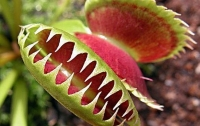 Ученые раскрыли удивительную способность растения-мухоловки - считать