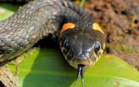Во Львовской области змея атаковала пенсионера