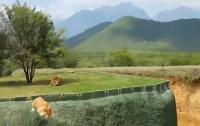 Львица пыталась допрыгнуть до посетителей зоопарка в Мексике (видео)