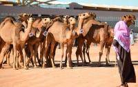 В Саудовской Аравии верблюдов сняли с конкурса красоты из-за ботокса