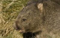 Власти Австралии попросили туристов не фотографироваться с вомбатами