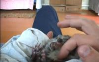 Маленький ежик кайфует, когда ему гладят животик (ВИДЕО)