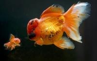Житель Лондона владеет золотой рыбкой весом больше килограмма