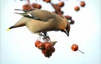 Пьяные птицы терроризируют жителей штата Миннесота