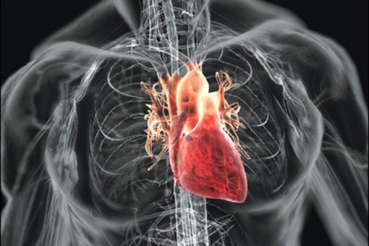 Мышца сердечная