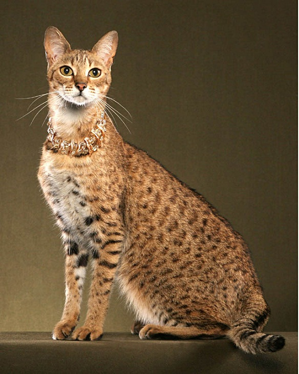 фото самая дорогая кошка в мире