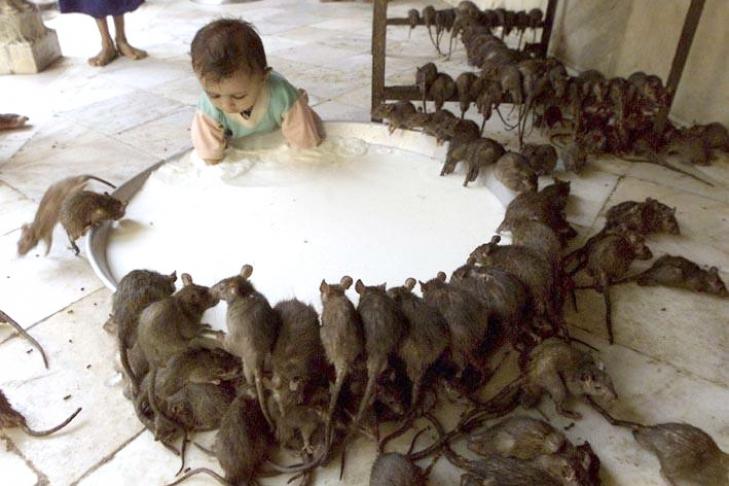 крысы мутанты фото