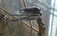 Вчені знайшли рештки найбільшої прадавньої птиці, що не літала