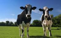 В Японии выбрали самую красивую корову