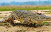 Ученые заставили крокодилов слушать Баха в томографе